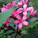 Pink Plumeria 2013